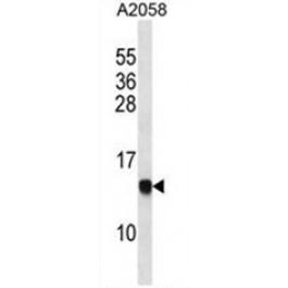 AP50424PU-N