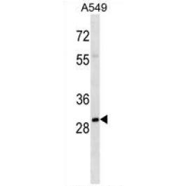 AP54241PU-N
