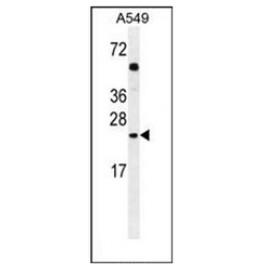 AP51889PU-N