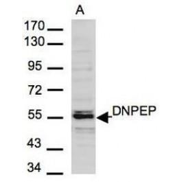 NBP1-32136