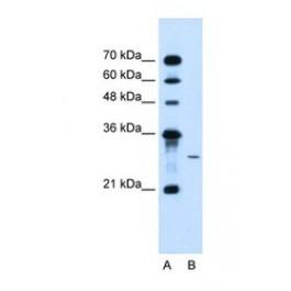 NBP1-59734