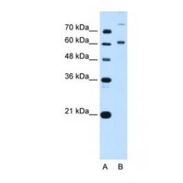 NBP1-52901