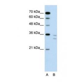 NBP1-59058
