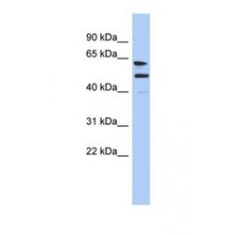 NBP1-70512