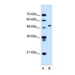 NBP1-54614