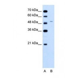 NBP1-54863