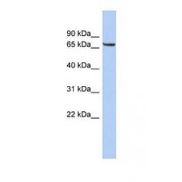 NBP1-69616