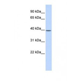 NBP1-56616
