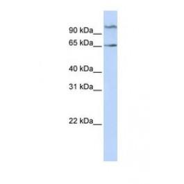 NBP1-55328