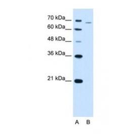 NBP1-56607