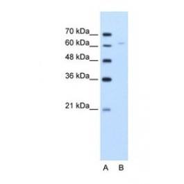 NBP1-54795