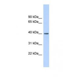NBP1-57430