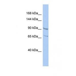 NBP1-56832