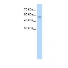 NBP1-55040