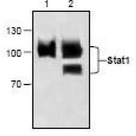 NBP1-45870