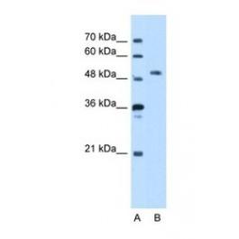 NBP1-52860