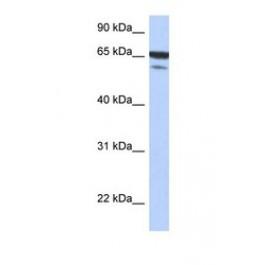 NBP1-58845