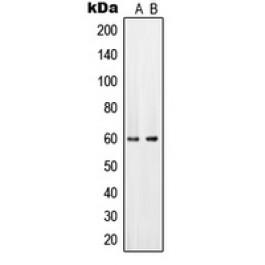 CPA2385-100ul