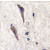 Formalin-fixed and paraffin-embedded human brain tissue reacted with SPRED1 antibody (N-term), which was peroxidase-conjugated to the secondary antibody, followed by DAB staining. This data demonstrates the use of this antibody for immunohistochemistry; clinical relevance has not been evaluated.