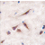Formalin-fixed and paraffin-embedded human brain tissue reacted with ERAS antibody (N-term) (AP11463PU-N), which was peroxidase-conjugated to the secondary antibody, followed by DAB staining. This data demonstrates the use of this antibody for immunohistochemistry; clinical relevance has not been evaluated.