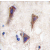 Formalin-fixed and paraffin-embedded human brain tissue reacted with CDH12 antibody (N-term) (AP11470PU-N), which was peroxidase-conjugated to the secondary antibody, followed by DAB staining. This data demonstrates the use of this antibody for immunohistochemistry; clinical relevance has not been evaluated.
