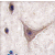 Formalin-fixed and paraffin-embedded human brain tissue reacted with CDH10 antibody (C-term), which was peroxidase-conjugated to the secondary antibody, followed by DAB staining. This data demonstrates the use of this antibody for immunohistochemistry; clinical relevance has not been evaluated.