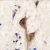 Formalin-fixed and paraffin-embedded human brain tissue reacted with HRH3 antibody (C-term), which was peroxidase-conjugated to the secondary antibody, followed by DAB staining. This data demonstrates the use of this antibody for immunohistochemistry; clinical relevance has not been evaluated.