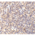 Immunohistochemical staining of human spleen with Rabbit anti DNASE-II (AP05789PU-N)