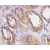 Immunohistochemical staining of human kidney woth Rabbit anti Human ACE2 antibody Cat.-No AP05885PU-N