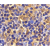 Immunohistochemical staining of mouse thymus with Rabbit anti Mouse Ubc13 (SP2158P)