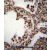 TUBA1C Antibody (C-term) (AP54414PU-N)immunohistochemistry analysis in formalin fixed and paraffin embedded human lung tissue followed by peroxidase conjugation of the secondary antibody and DAB staining. This data demonstrates the use of TUBA1C Antibody (C-term) for immunohistochemistry. Clinical relevance has not been evaluated.