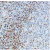 Human tonsil stained with anti-FOXP1 Antibody Cat.-No AM33208PU (Clone SP133).