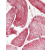 Immunhistochemistry analysis in human skeletal muscle (Formalin-fixed, Paraffin-embedded) using ECI2 / PECI antibody Cat.-No. AP32316PU-N.