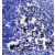 Immunohistochemistry analysis in formalin fixed and paraffin embedded human tonsil tissue followed by peroxidase conjugation of the secondary antibody and DAB staining.This data demonstrates the use of POU2AF1 Antibody (N-term) cat.no. AP53397PU-N for immunohistochemistry. Clinical relevance has not been evaluated.
