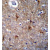 Immunohistochemistry analysis in formalin-fixed, paraffin-embedded human brain tissue using Proline-rich protein 16 / PRR16 antibody Cat.-No. AP53458PU-N (C-term), followed by peroxidase conjugation of the secondary antibody and DAB staining.This data demonstrates the use of PRR16 antibody for immunohistochemistry. Clinical relevance has not been evaluated.