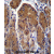 TSSK6 Antibody (C-term) (AP54390PU-N)immunohistochemistry analysis in formalin fixed and paraffin embedded human stomach tissue followed by peroxidase conjugation of the secondary antibody and DAB staining. This data demonstrates the use of TSSK6 Antibody (C-term) for immunohistochemistry. Clinical relevance has not been evaluated.