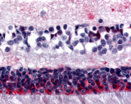 SP4391P - Melatonin Receptor 1B