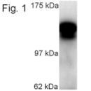 SP5236P - KIF5C