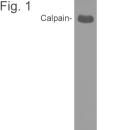 SM5128 - Calpain-1