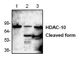 AP00279PU-N - HDAC10