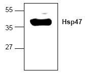AP00215PU-N - SERPINH1 / HSP47