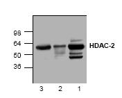 AP00271PU-N - HDAC2