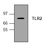 AM00193PU-N - CD282 / TLR2