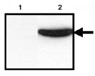 AM00195PU-N - 6xHistidine Epitope Tag