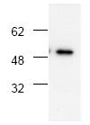 AP00043PU-N - CD120a / TNFR1