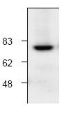 AP00063PU-N - Calpain-1
