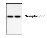 AP00176PU-N - MAP kinase p38 alpha / MAPK14