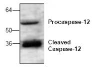 AP00089PU-N - Caspase-12
