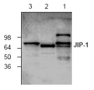 AP00311PU-N - MAPK8IP1 / JIP1