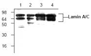AP00082PU-N - Lamin-A/C (LMNA)